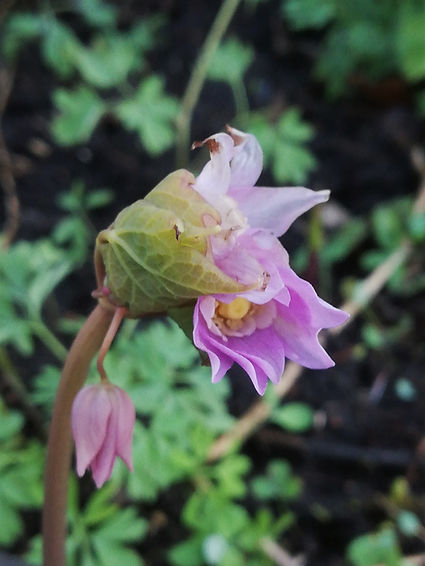 Ranzania japonica.jpg