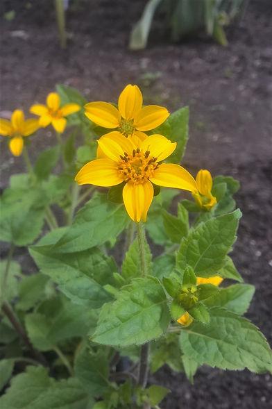 Chrysogonum virginianum.jpg