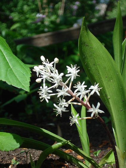 Speirantha gardenii.JPG