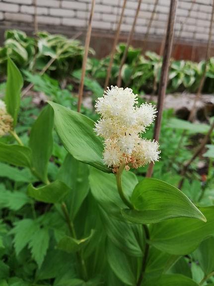 Maianthemum racemosum 'Emily Moody'.jpg