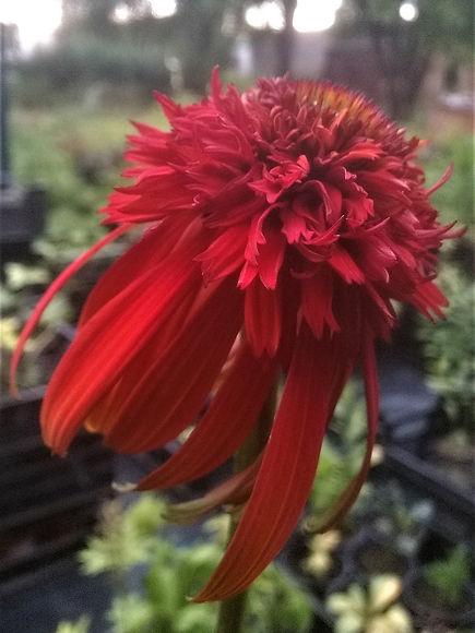 Echinacea 'Hot Papaya'.jpg