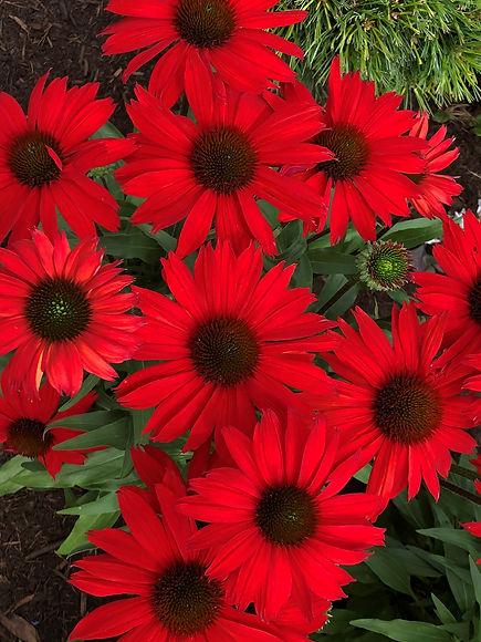 Echinacea Kismet® Red.jpg