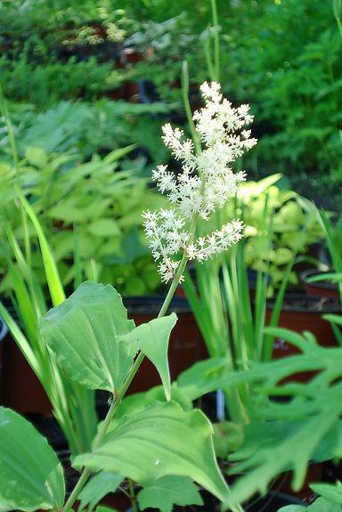Maianthemum racemosum (Syn.Smilacina rac