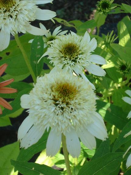 Echinacea 'White Double Delit'.jpg