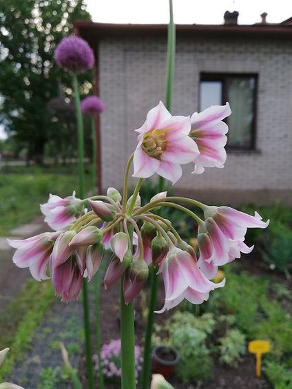 Allium tripedale.jpg