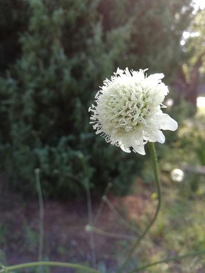 Cephalaria gigantea.jpg