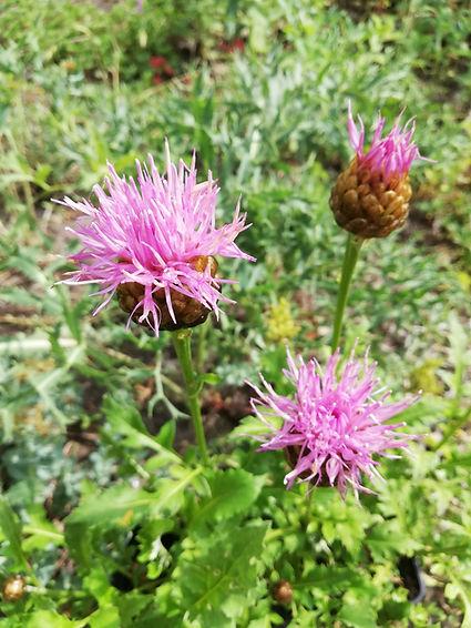 Rhaponticum centauroides.jpg