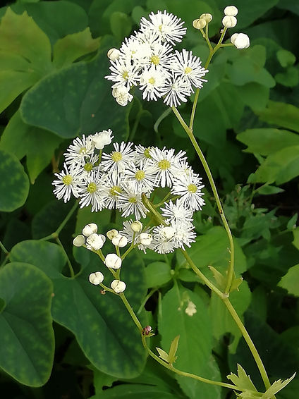 Trautvetteria caroliniensis.jpg