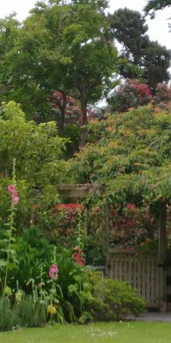 Pohutakawa Flowering