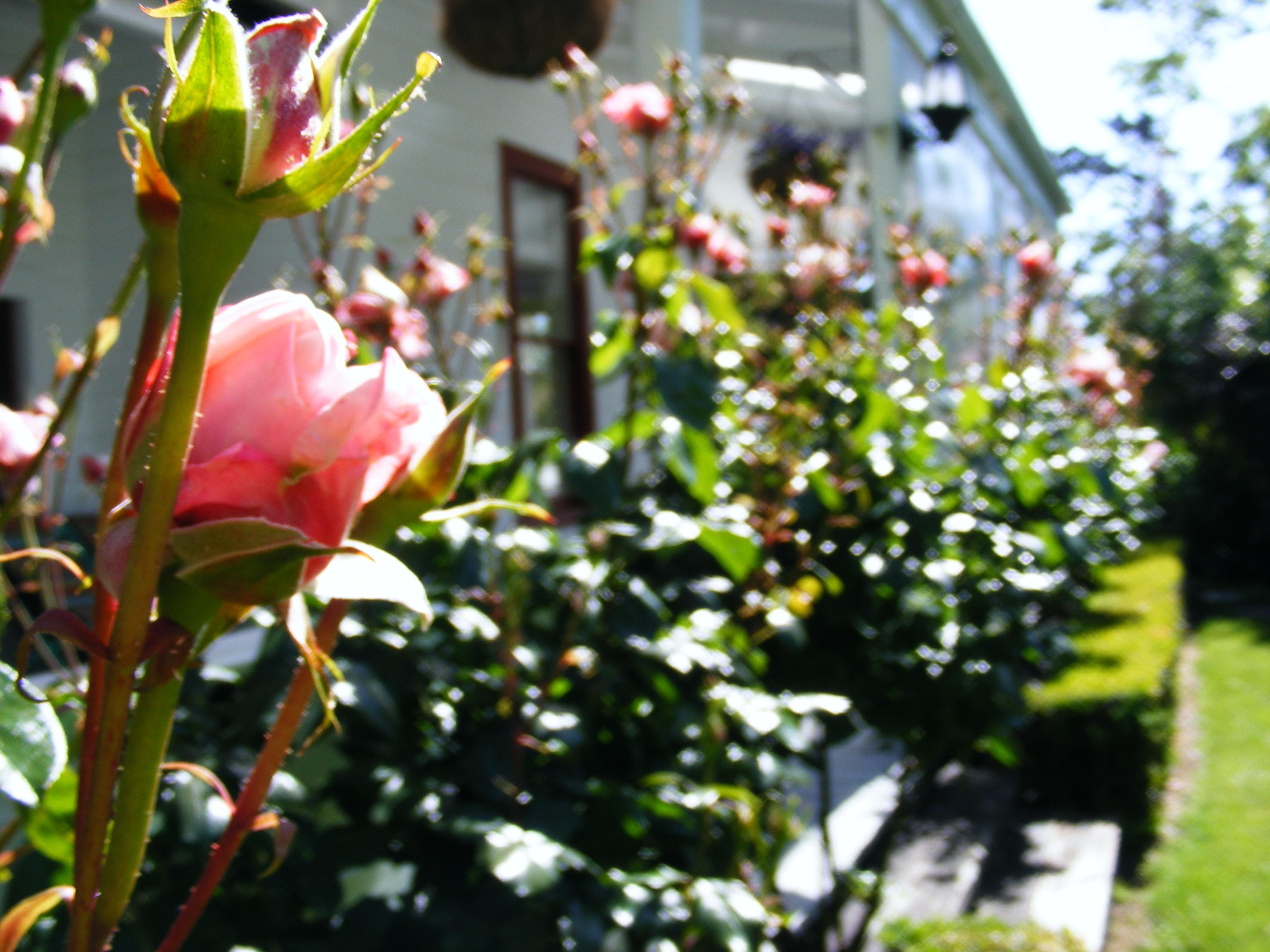 Summer Roses 2016