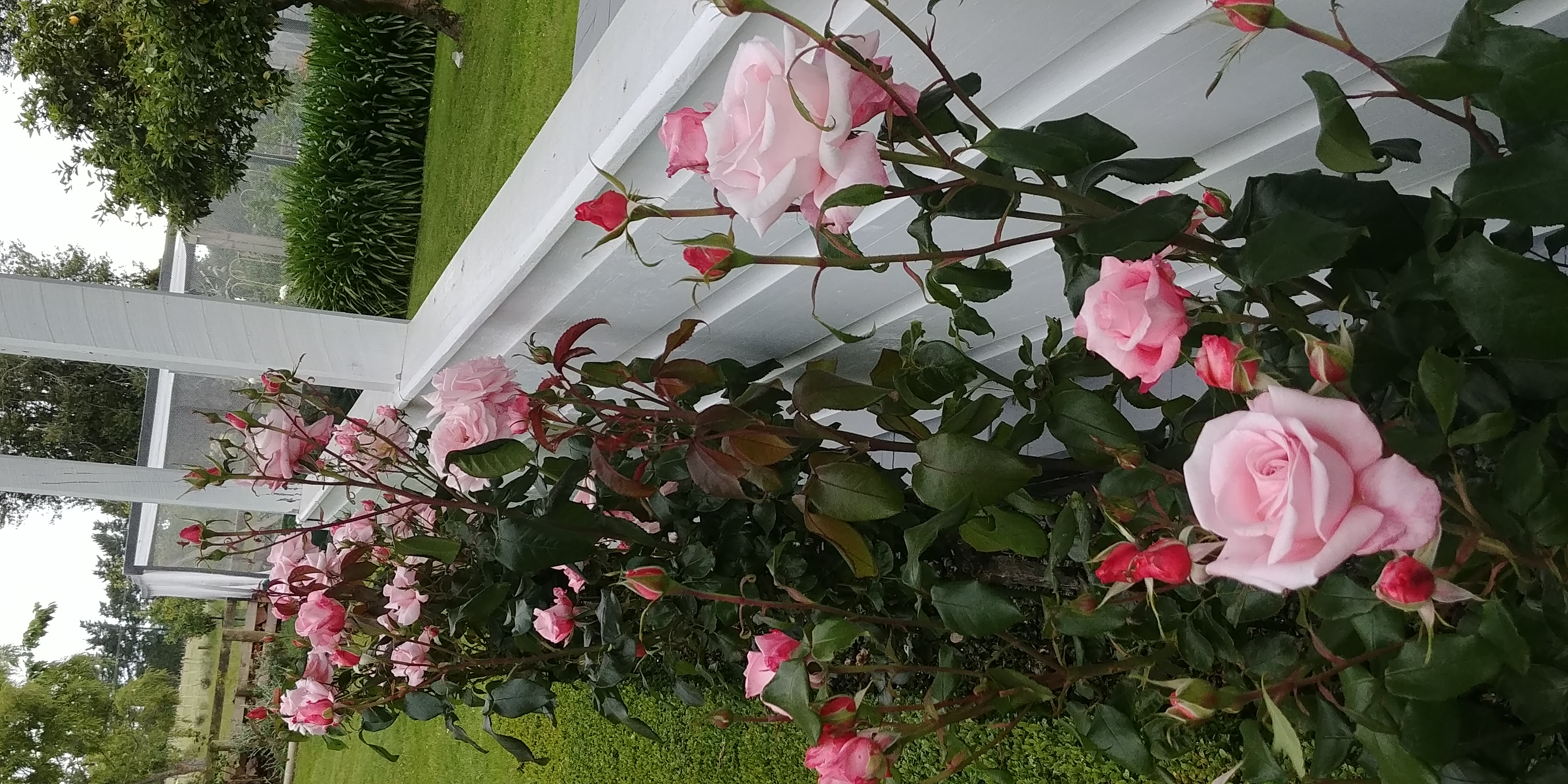 Roses at beginning of season