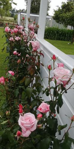 Roses at beginning of season