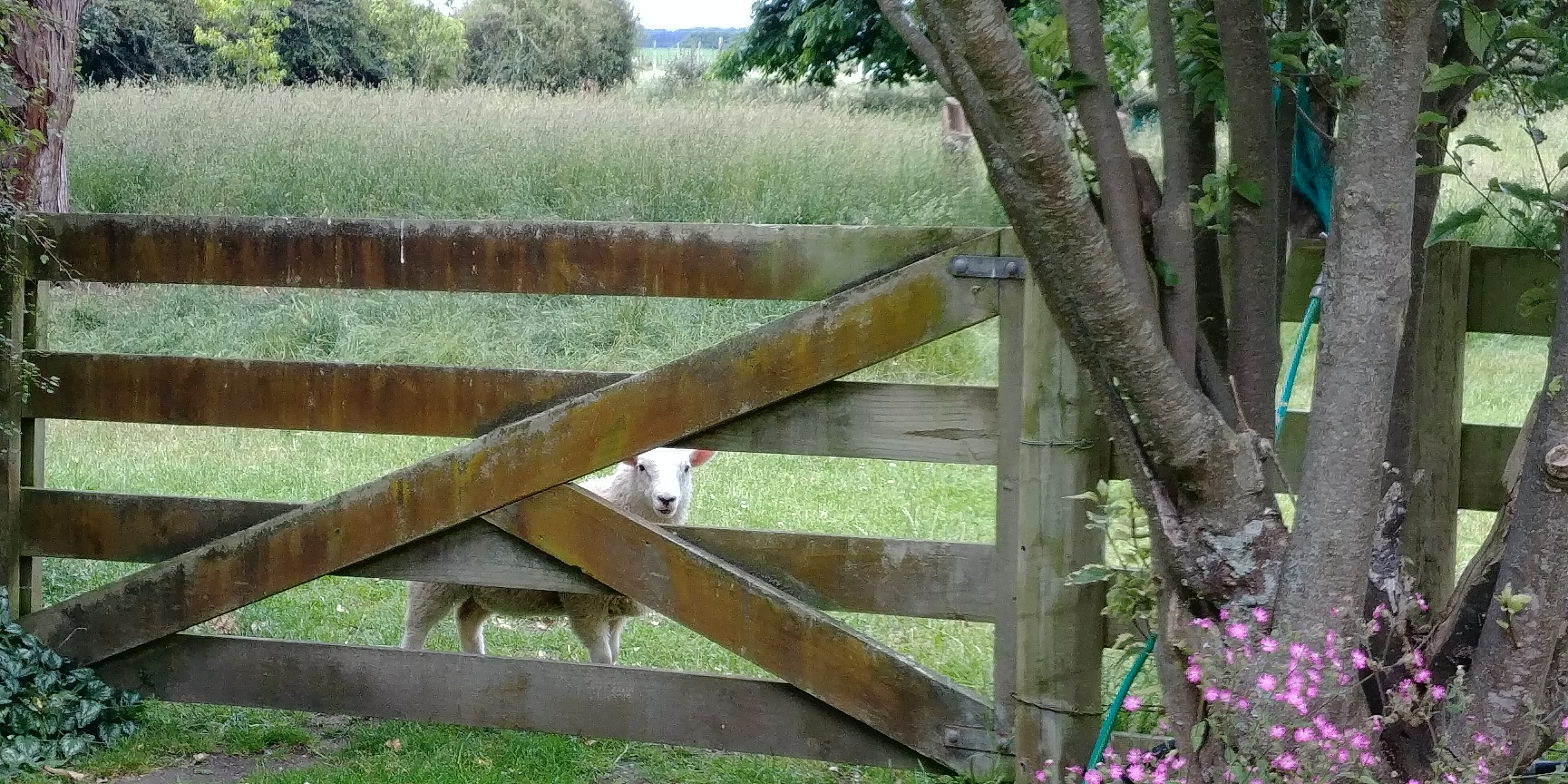 Sheep thru orchard gate