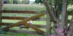 Sheep thru orchard gate