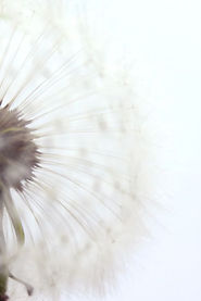 fond dandelion.jpg