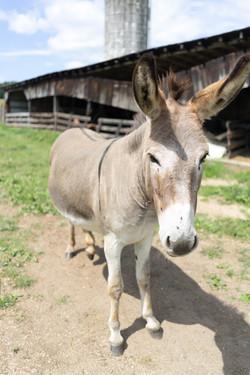 One of the donkeys at the Elegius Mini Equine Sanctuary