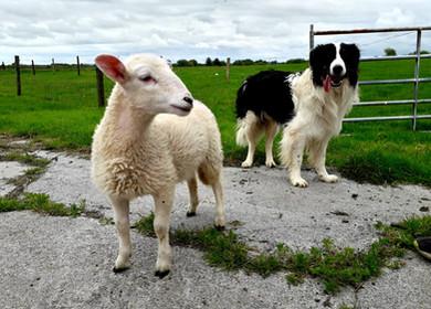 Sheepdog4.jpeg