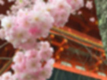 京都仁和寺の桜