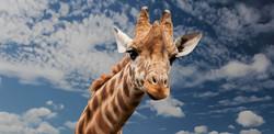 Giraffe Vision - Intuition, Insight, Innovation