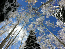Winter Dreaming in the Aspen Trees with Frosty Snow