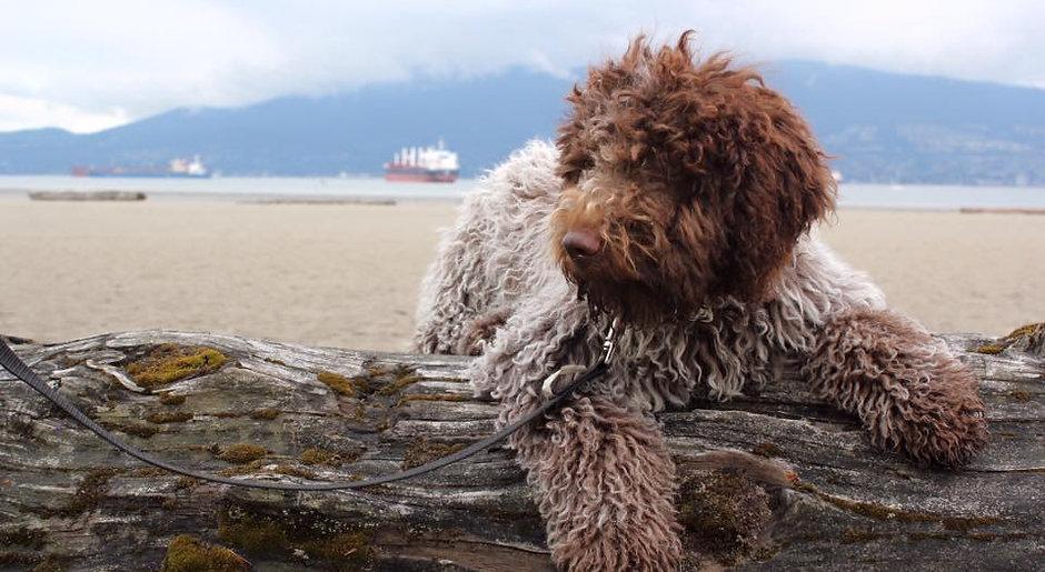 Milo as a fluffy Lagotto puppy