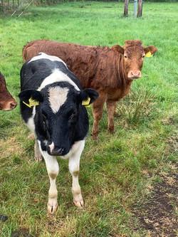 cows6.jpg