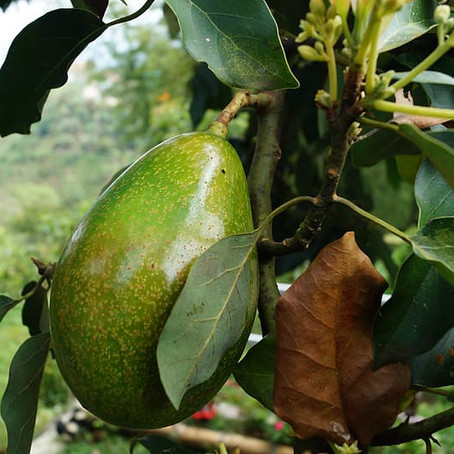 How to Grow Your Own Avocado Tree