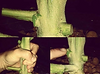 hand holding large cannabis stalk in hydroponics