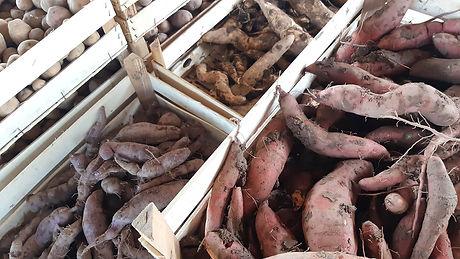 Récolte patates douces Caillan