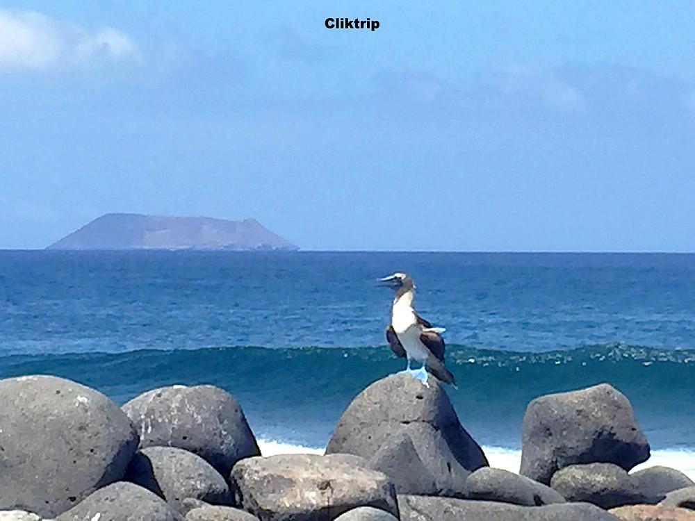 Piquero de Pata Azul Galapagos