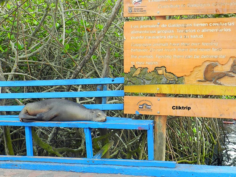 lobo marinho Galápagos