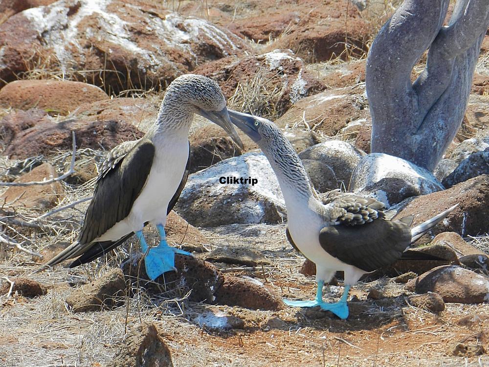 Piqueros de Patas Azuis - Galápagos