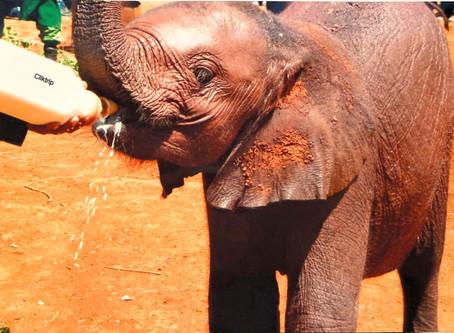 Sheldrick Wildlife Trust - Quer ter um bebê Elefante ou Rinoceronte ? Saiba como !