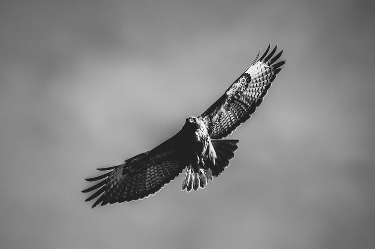 monochrome-photo-of-flying-falcon-201390