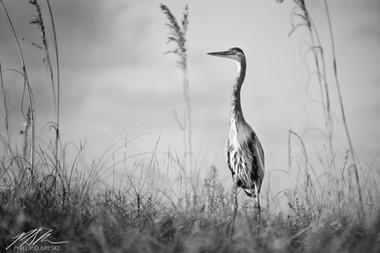 Heron at Gulf Islands National Seashore, Pensacola