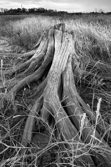 Tree stump near North Ozello Trail, Ozello, September 2018