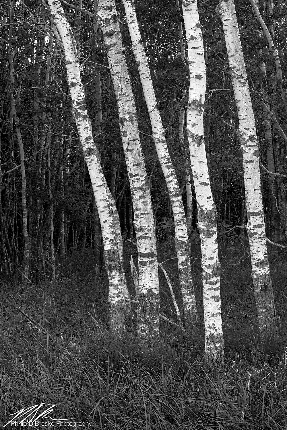Birch trees in Badoura State Forest, MN