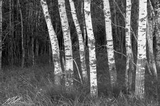 Stand of birch trees in Badoura State Forest, Minnesota, June 2018