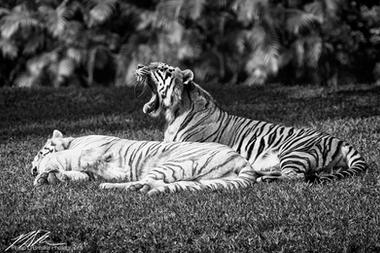 Tigers at Miami Metrozoo, January 2008