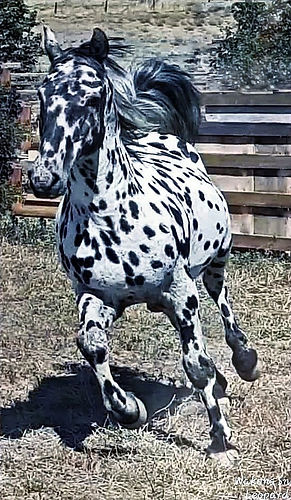 SnowLeopard fabulous