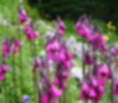 Jenney Wainwright - primula_secundiflora