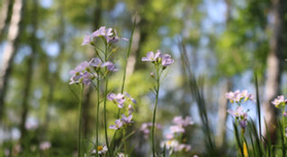 Heilpflanzen als Bachblüten oder homöopathische Mittel