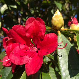 Rododedenium in bloom