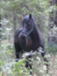 Unarde , cheval de Mérens chez Cheval Cathre