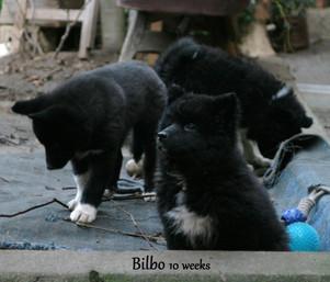 Bilbo 10 weeks.JPG