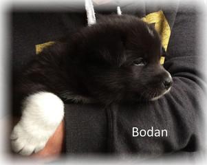Bodan