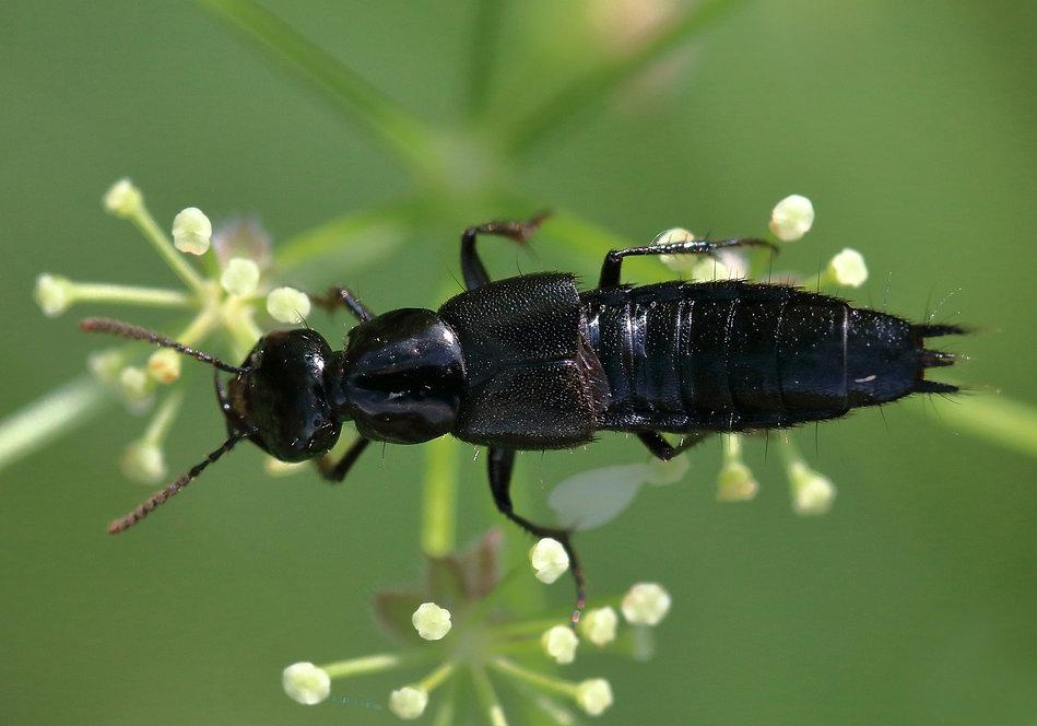 rove-beetle-5314974_1280.jpg