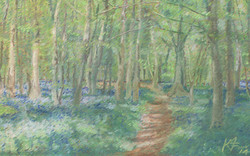 Bluebells in Breamore Wood