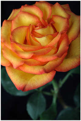 OrangeBlossom.jpg