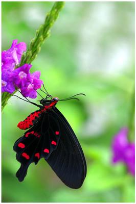 Pink Rose Swallowtail
